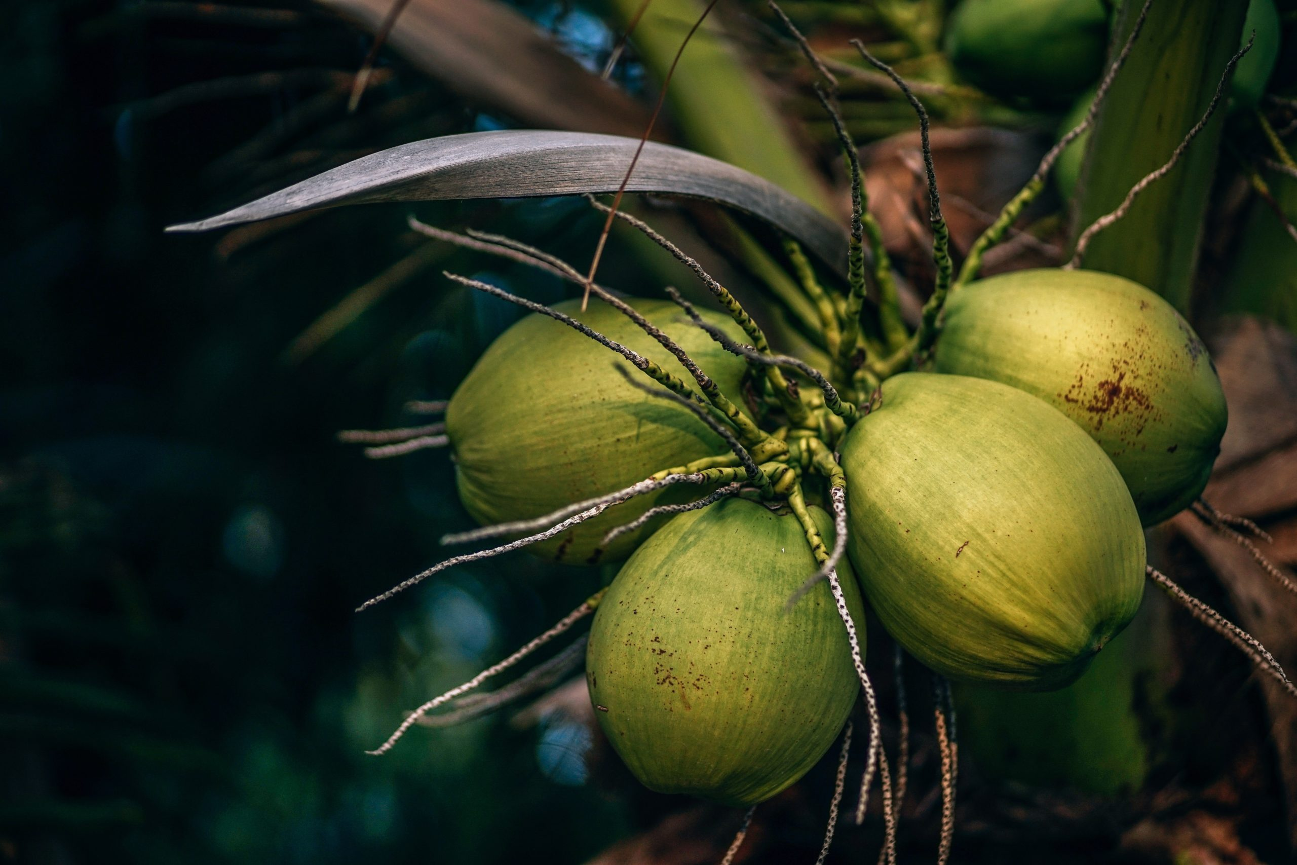 Coconut water can help with weight loss